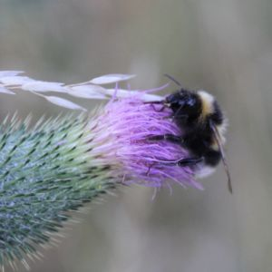 Bienenwiese